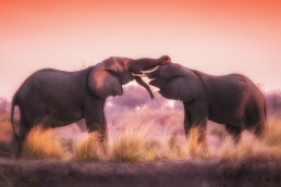 Elephants playing in the evening sun