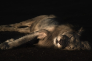 Ginger, South Luangwa's famous albino lion, relaxing in the last rays of the sun.