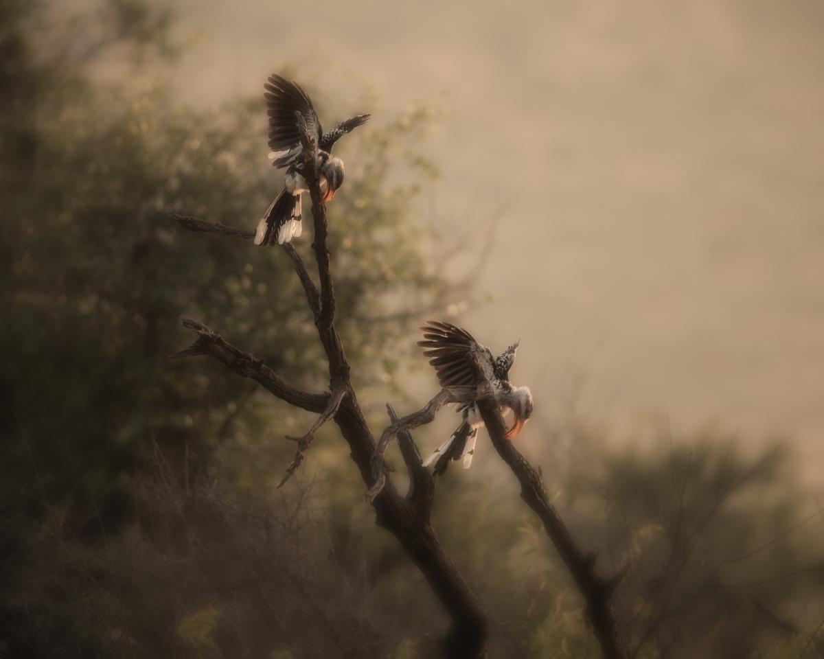 Hornbills at dawn
