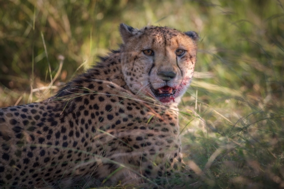 Cheetah after a kill