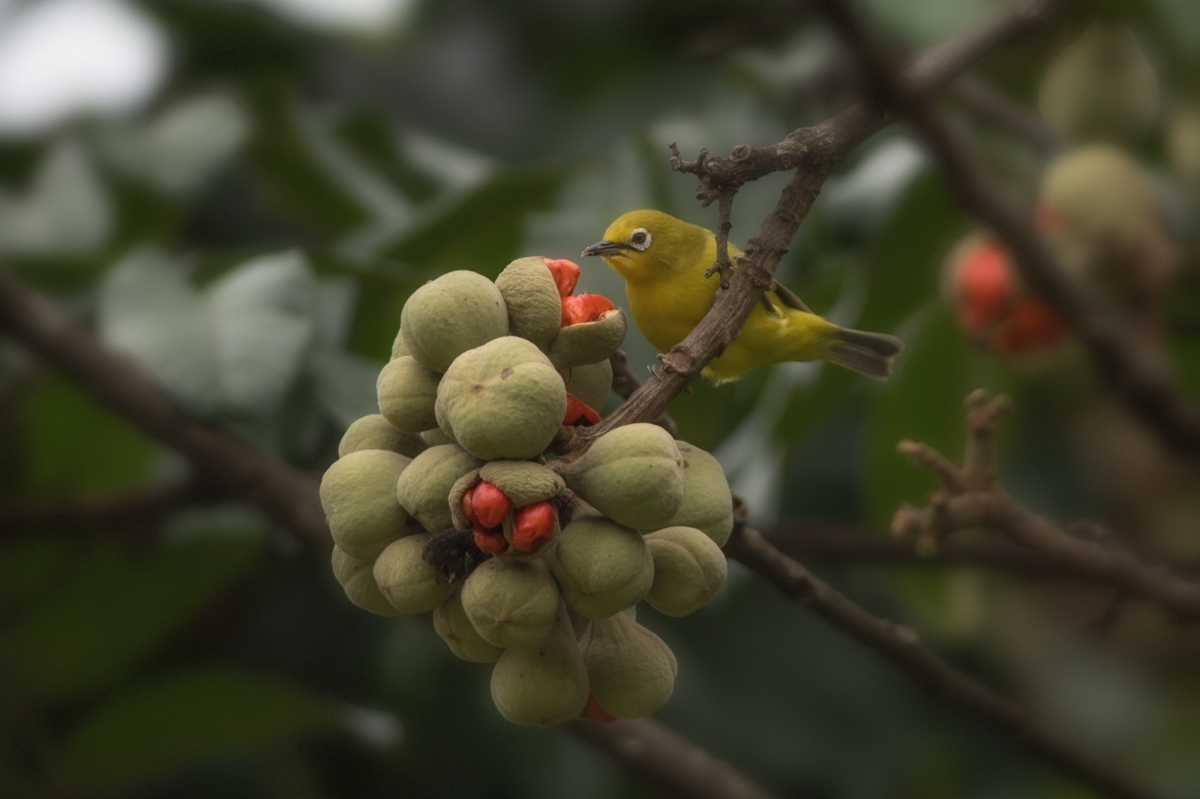 African yellow white-eye