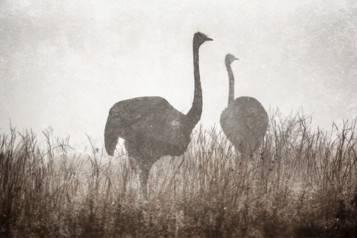 Ostrich in the mist