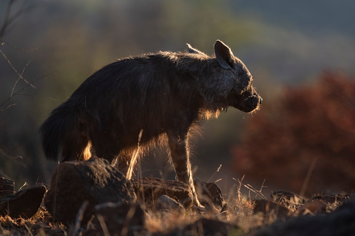 Brown hyena marking its territory