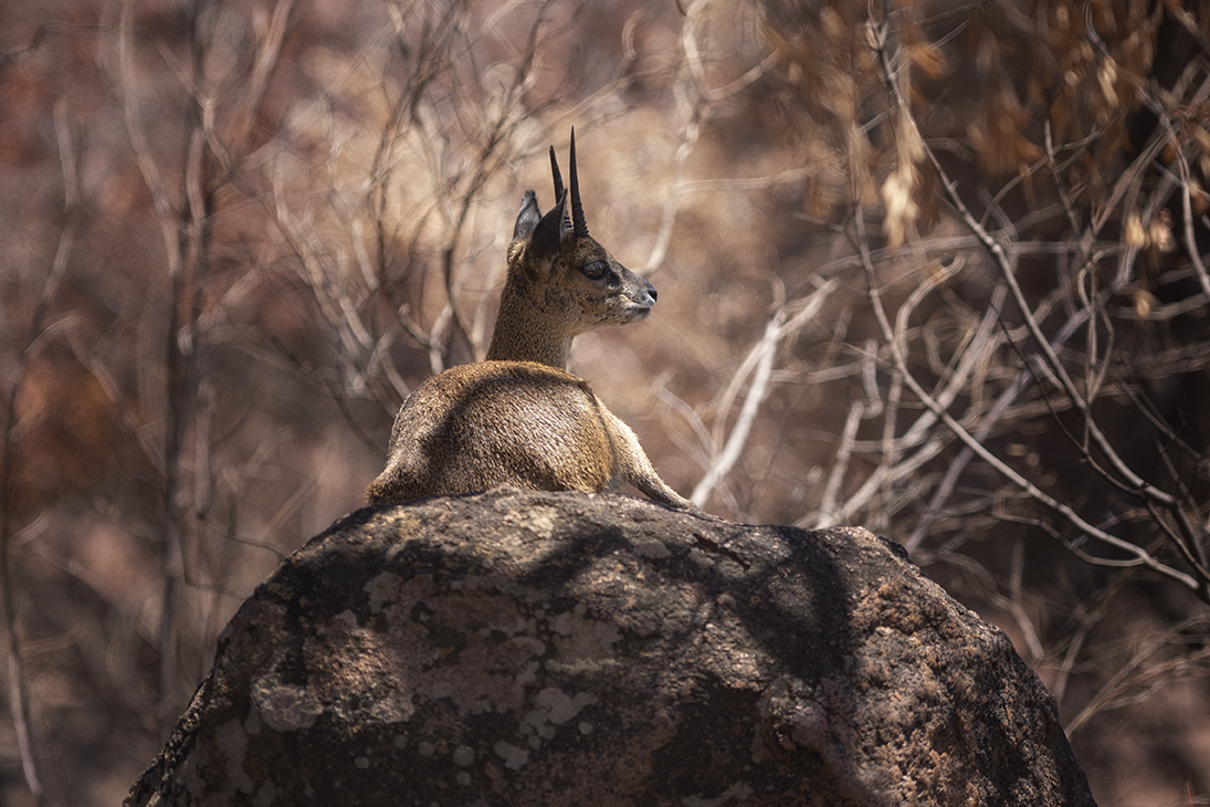 Klipspringer resting on a rock