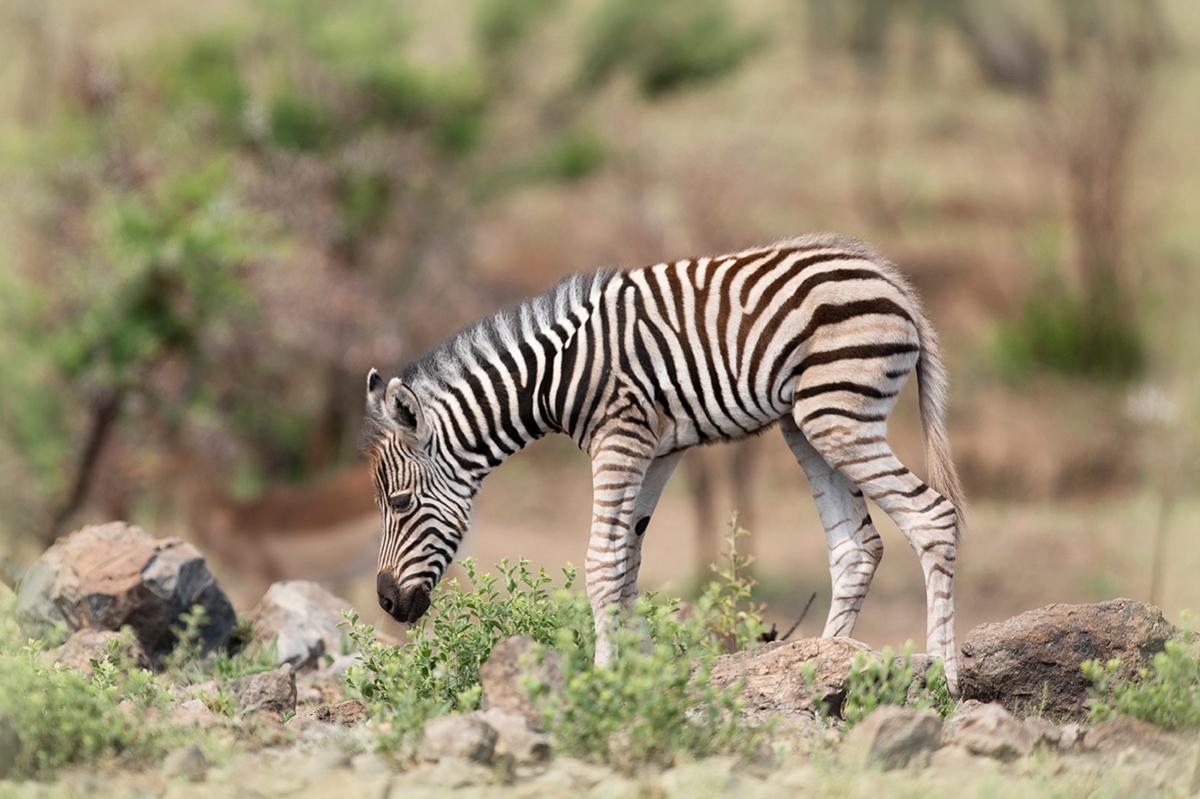 Baby zebra grazing