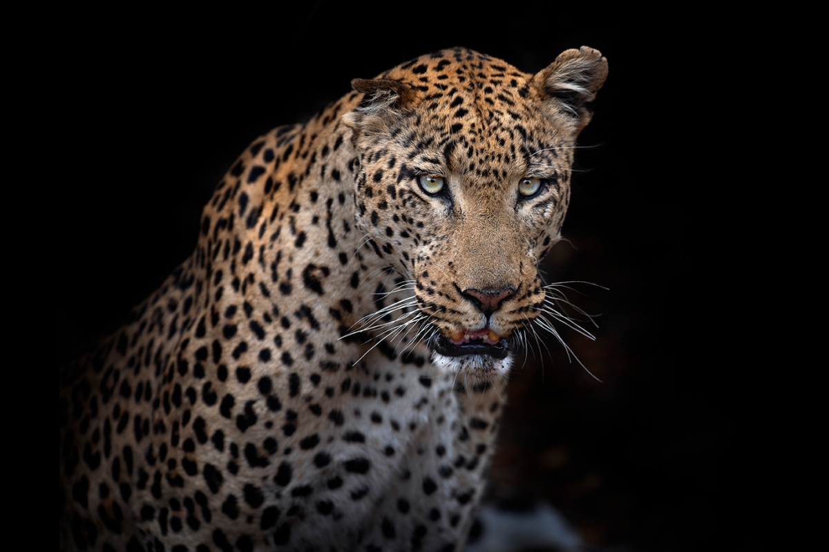 Beautiful male leopard