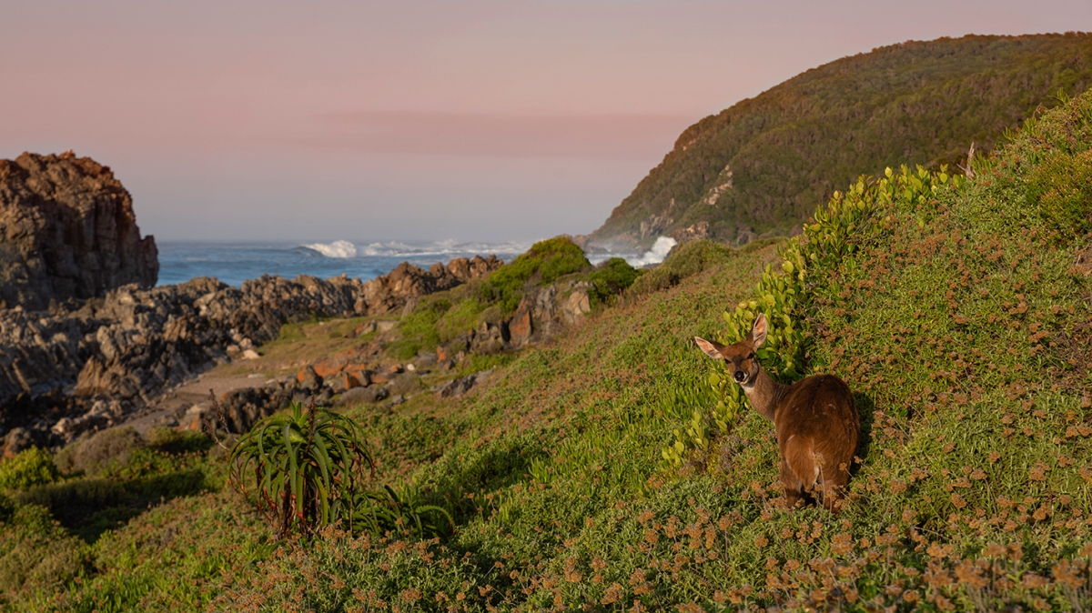 Bushbuck at sea at sunrise