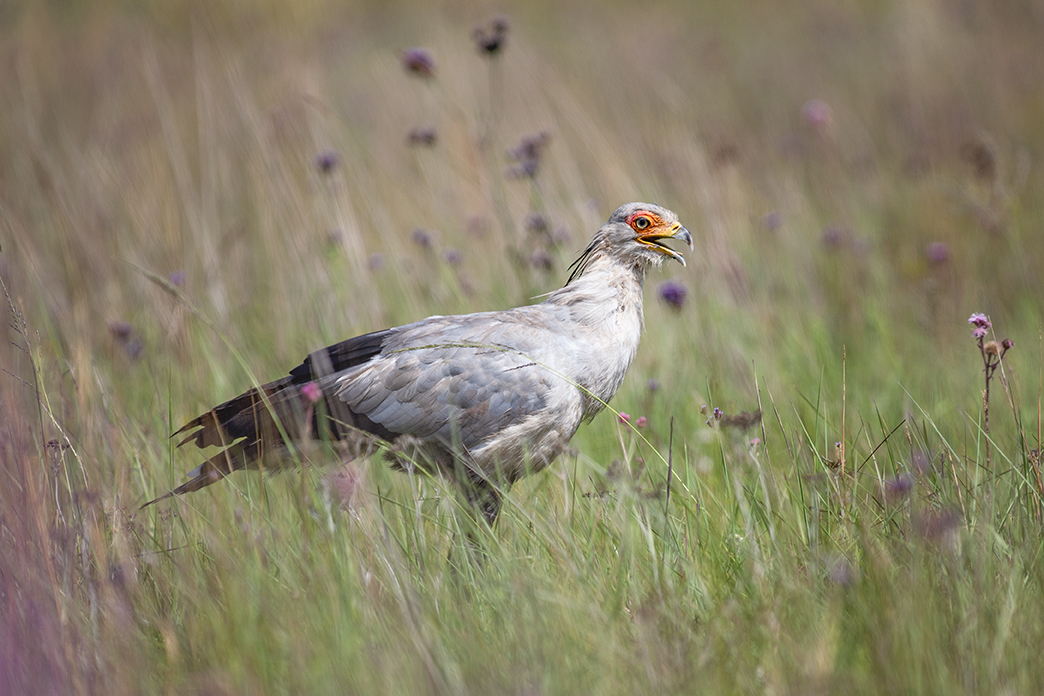 Secretary bird – what's in a name?
