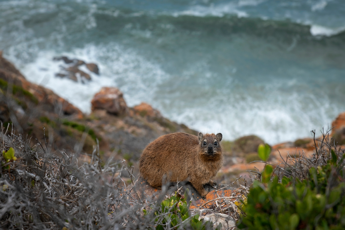Dassie on the rocks