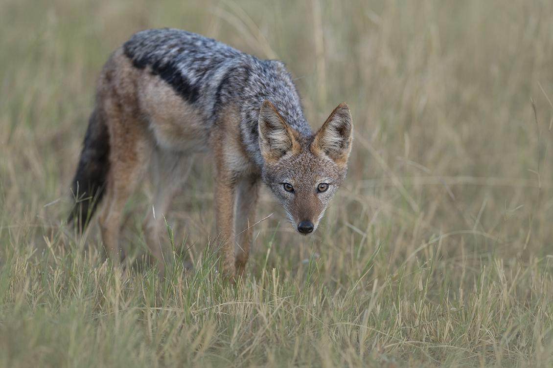 The unpopular jackal