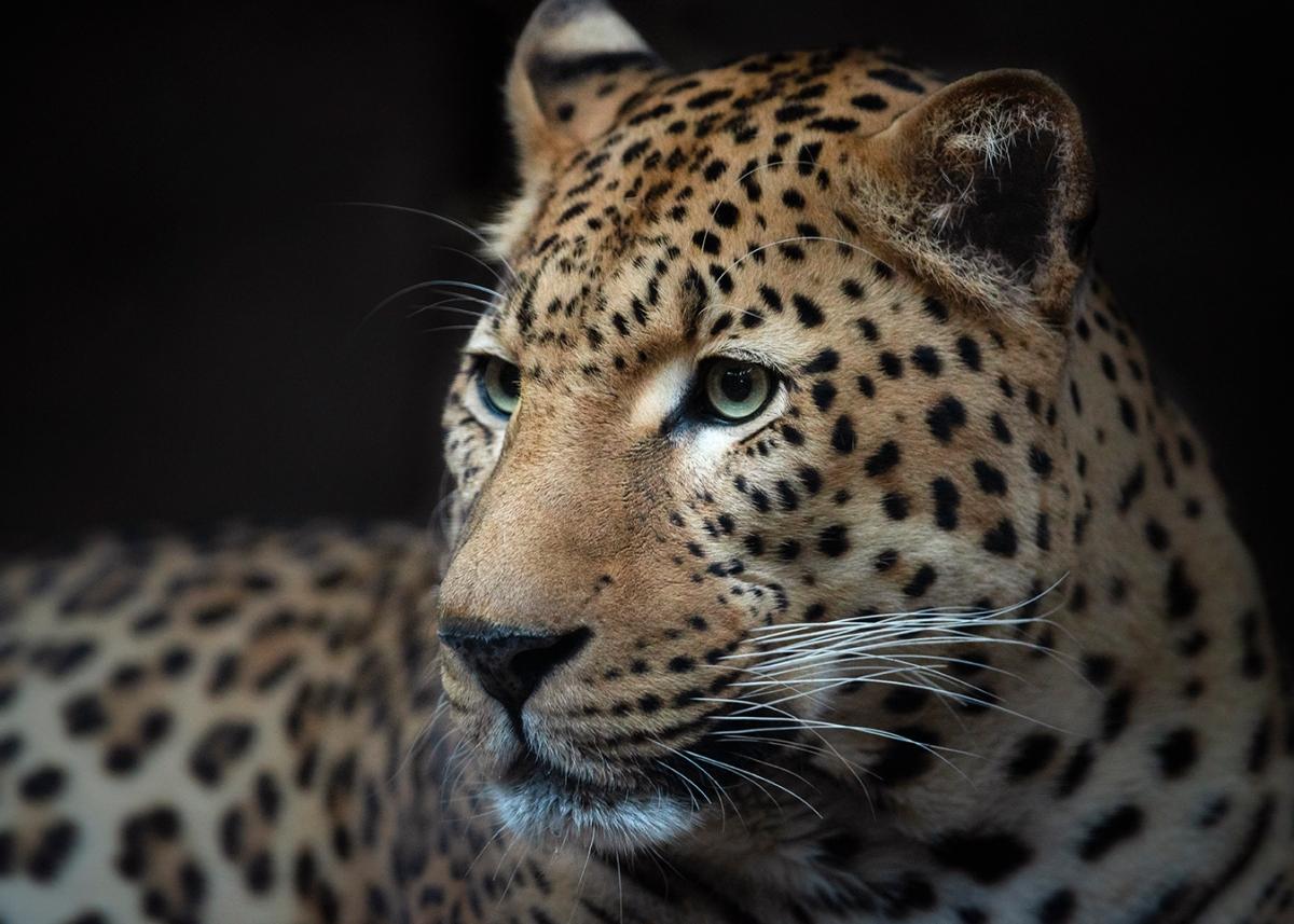 Melancholic leopard