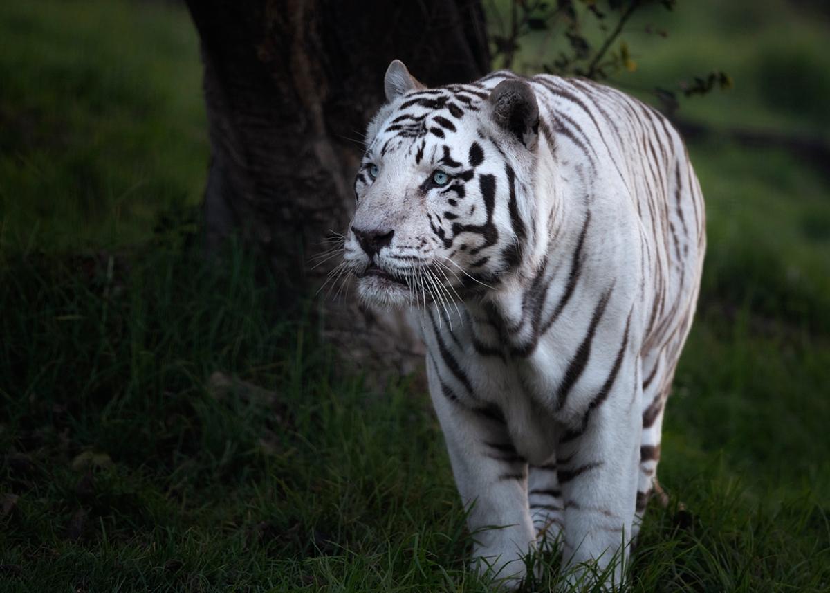White tiger at thezoo