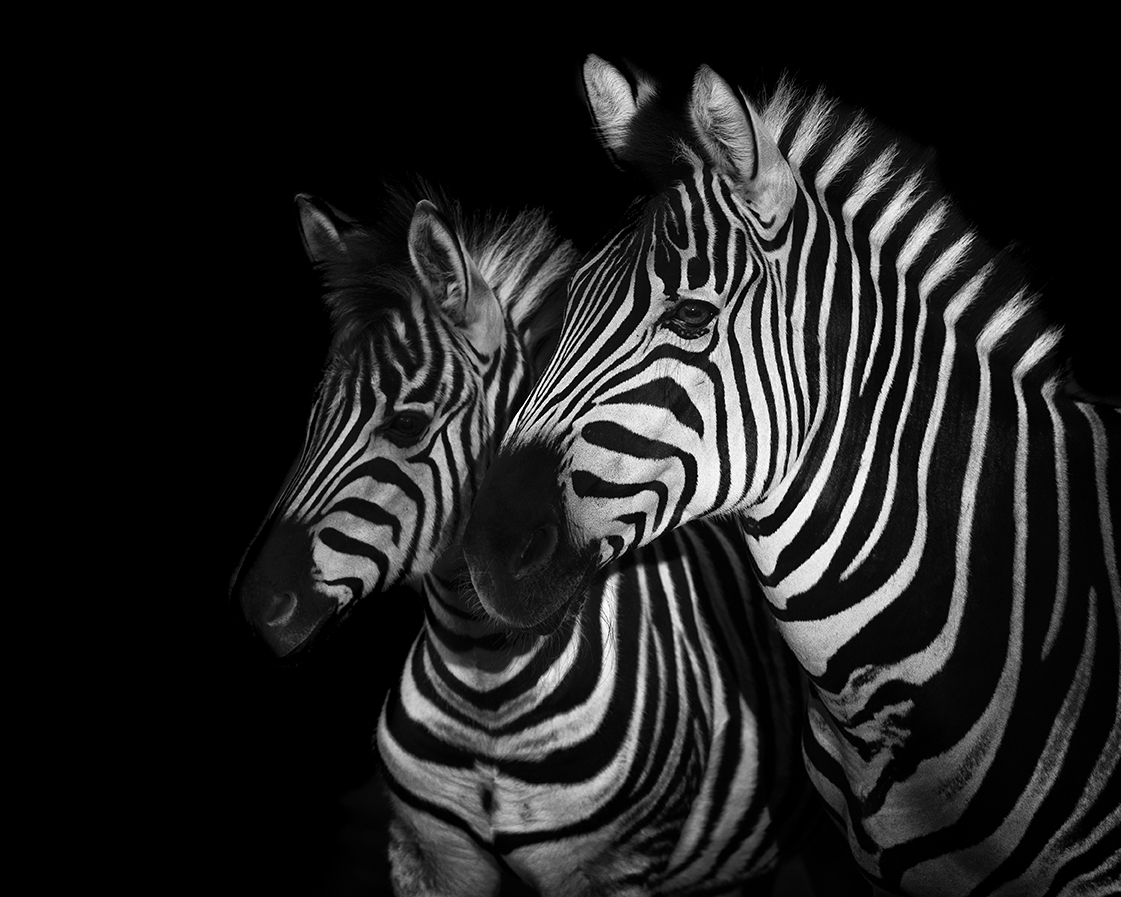 Zebra family portrait