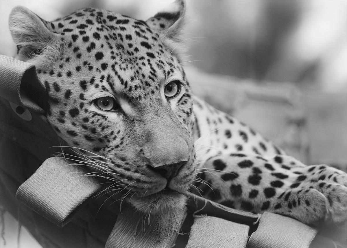 Leopard in ahammock