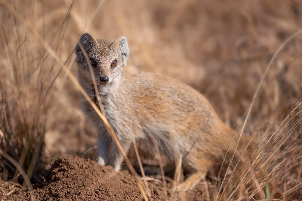 Yellow meerkat