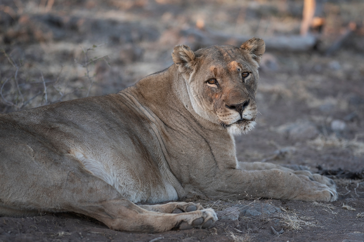 Lioness resting
