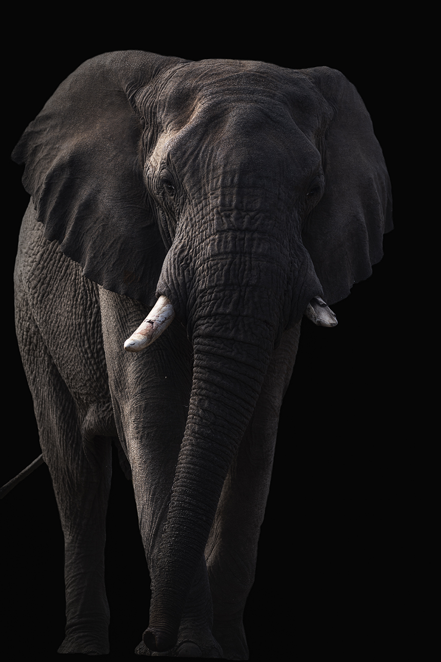 Elephant on black