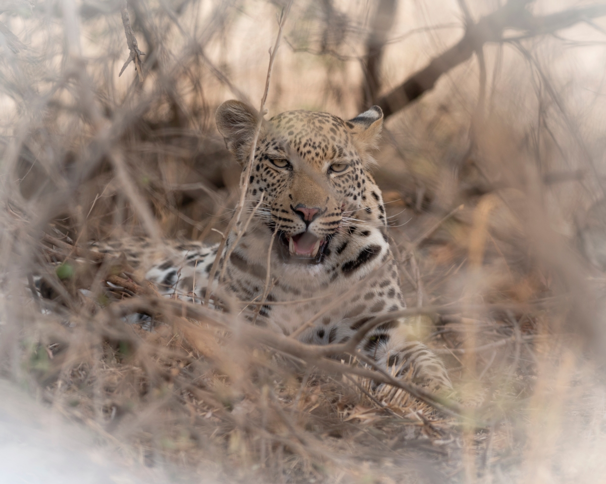 Leopard after the kill