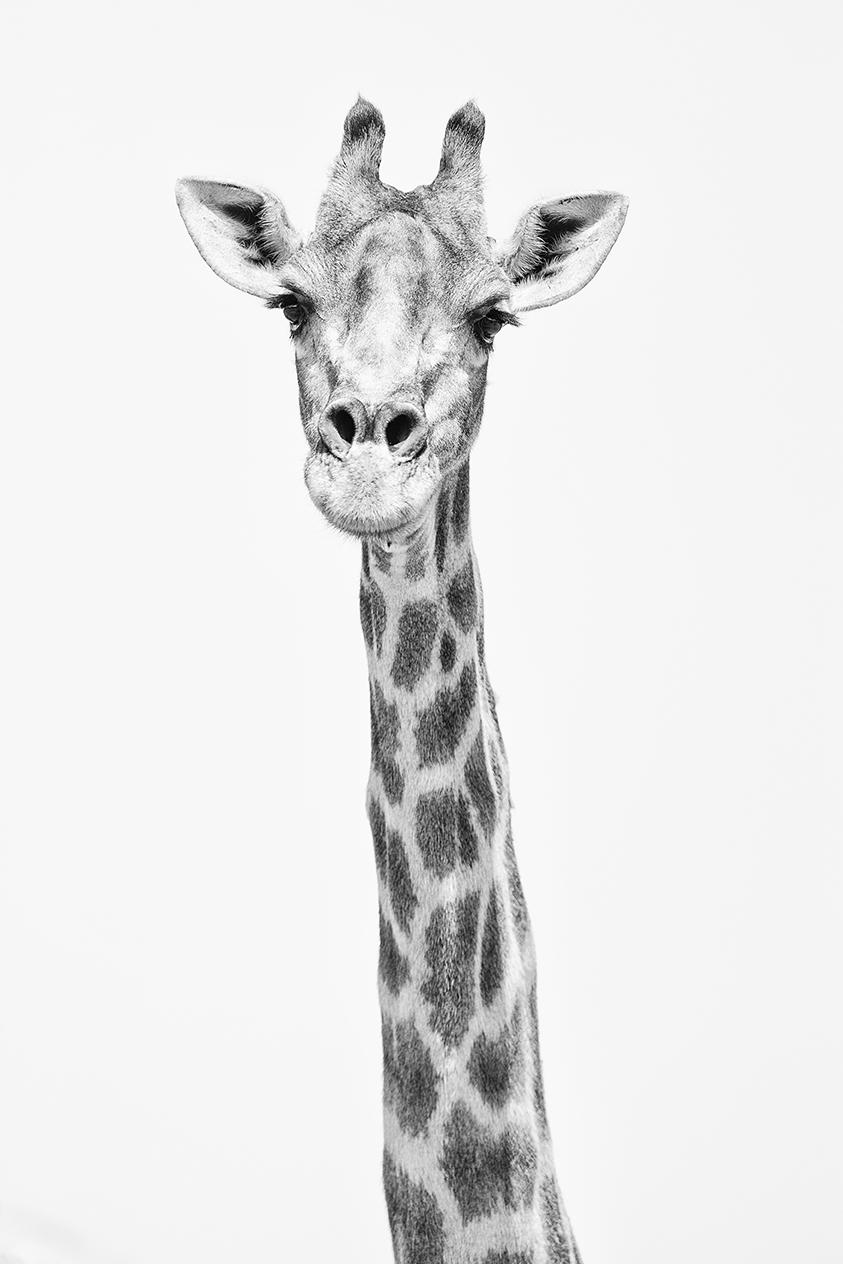 Giraffe in black andwhite