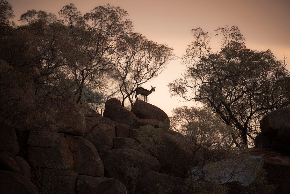 Klipspringer on the rocks