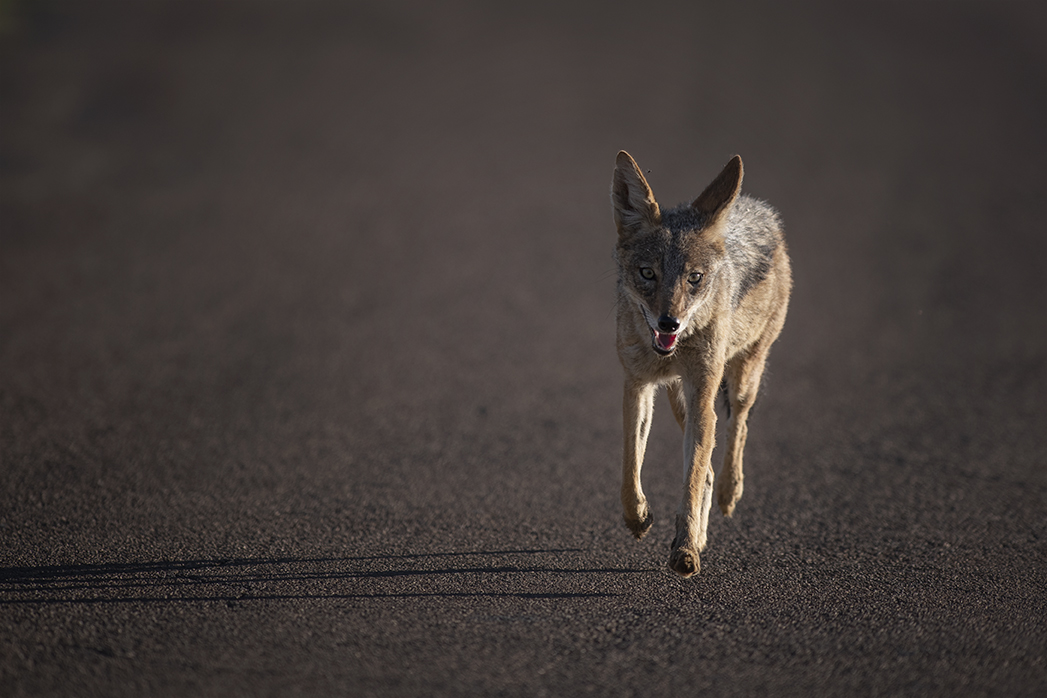 Black-backed jackal in a hurry