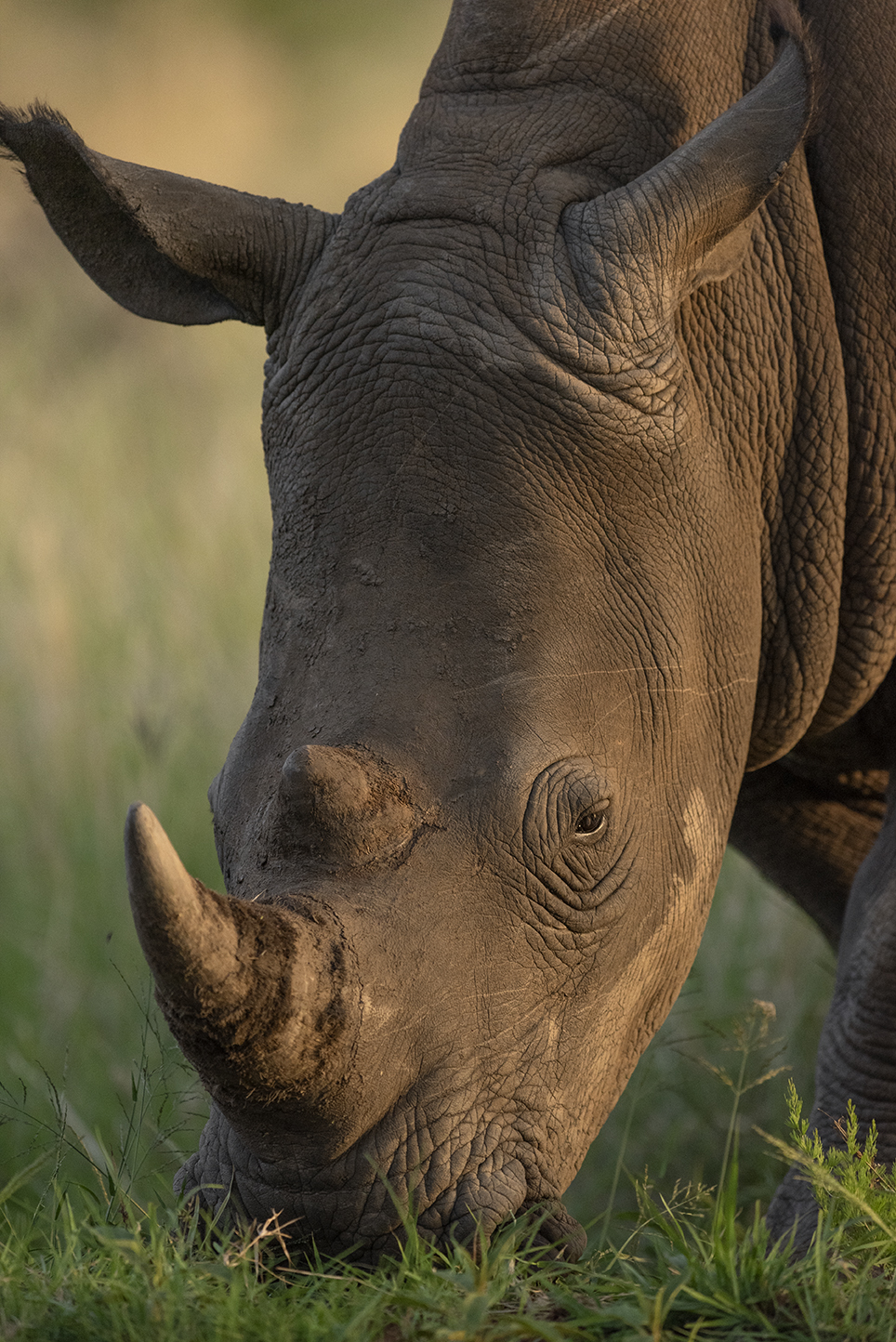 Rhino in the evening light