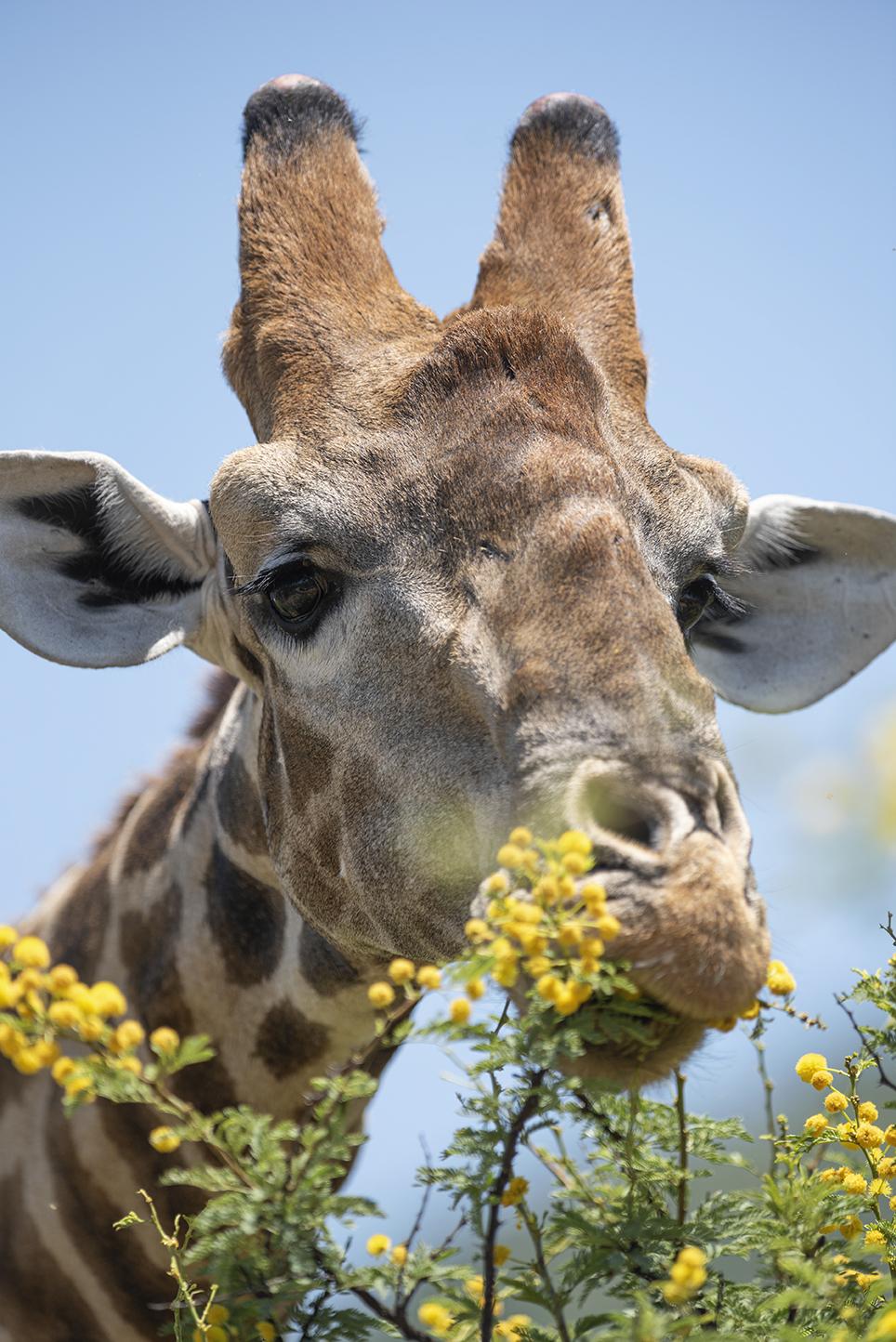 Giraffe eating yellowflowers