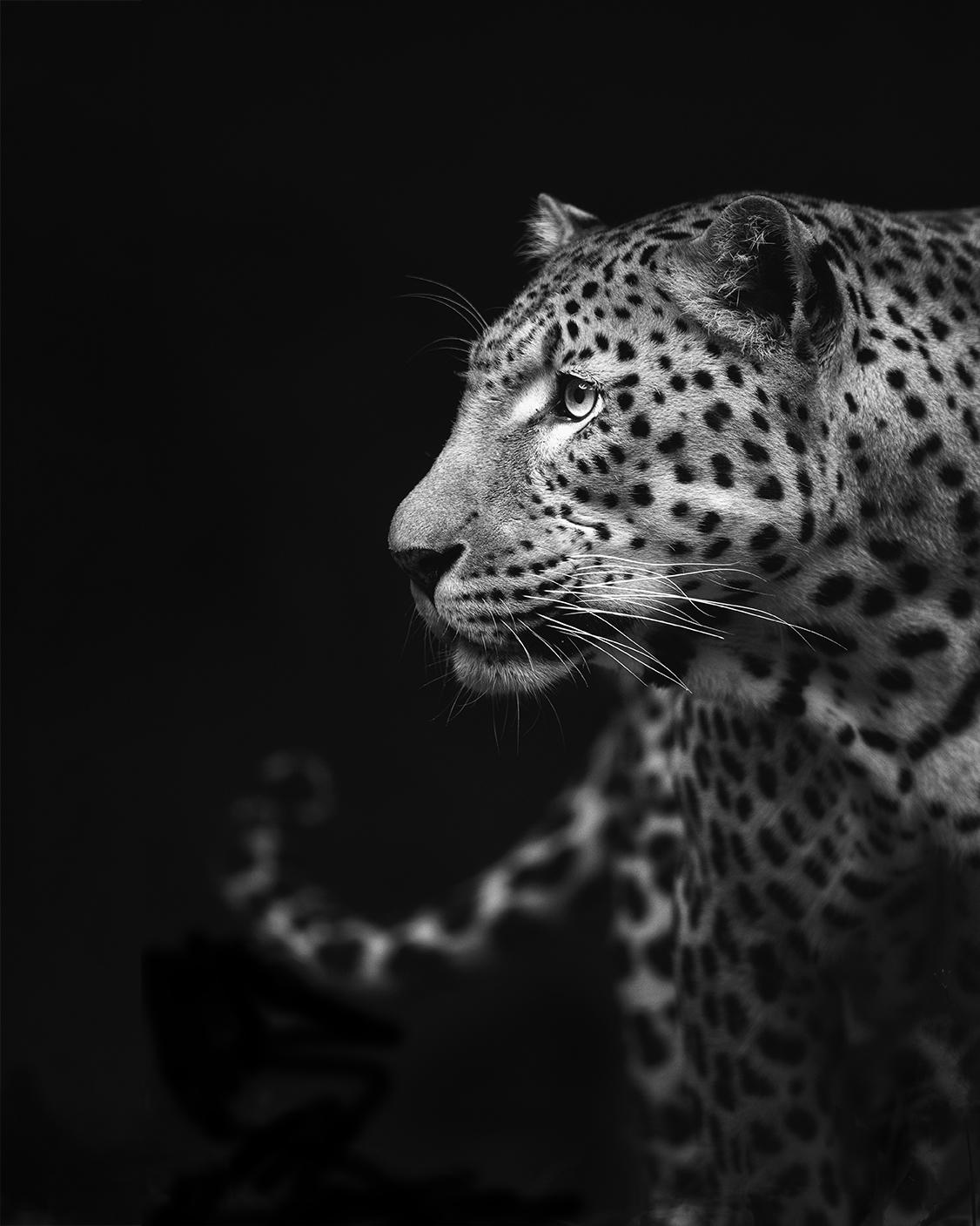 Leopard in black andwhite