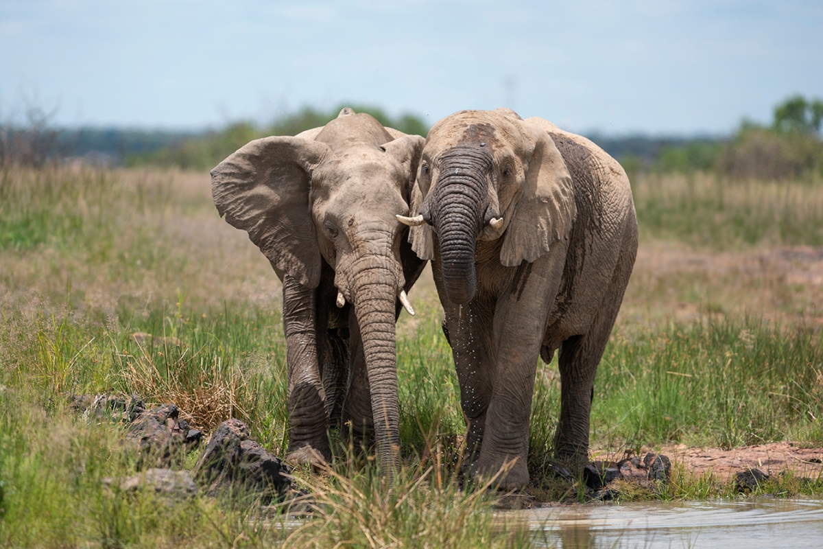 Two drinking elephants