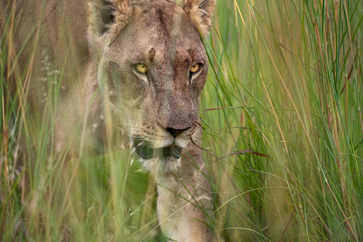 Lioness in thegrass