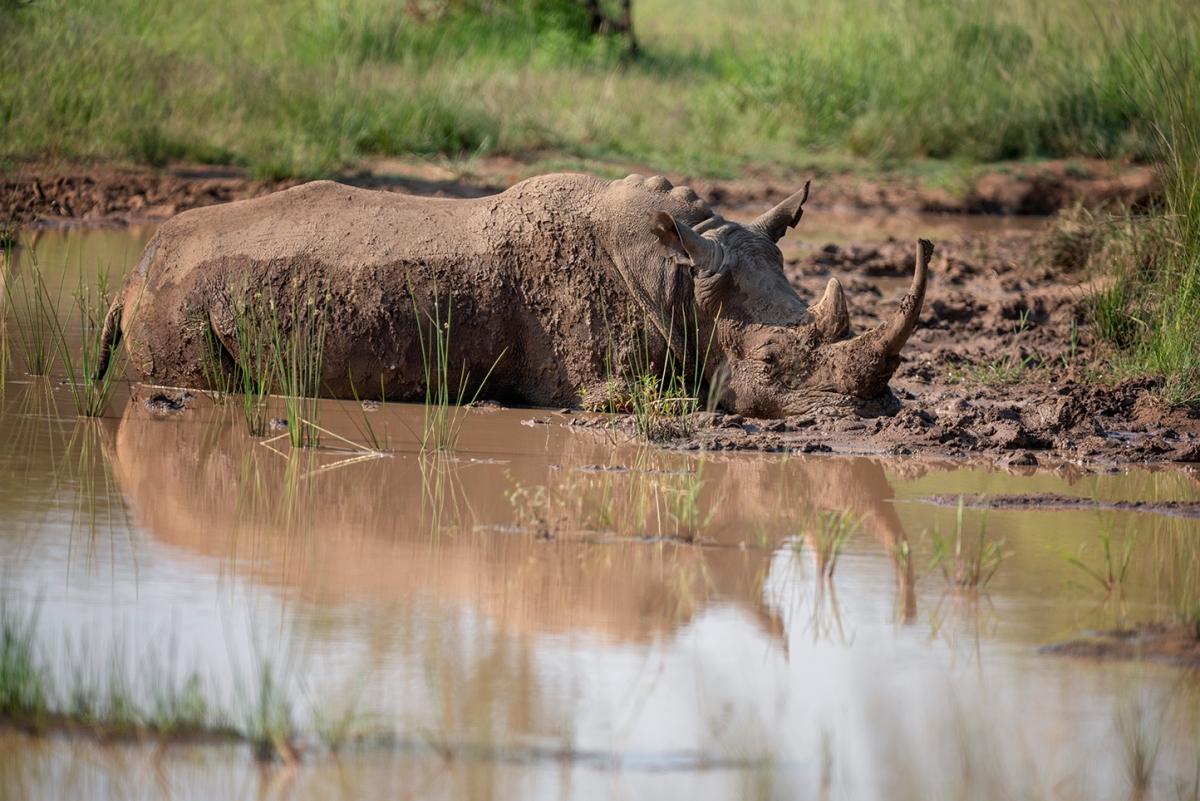 Rhino in themud