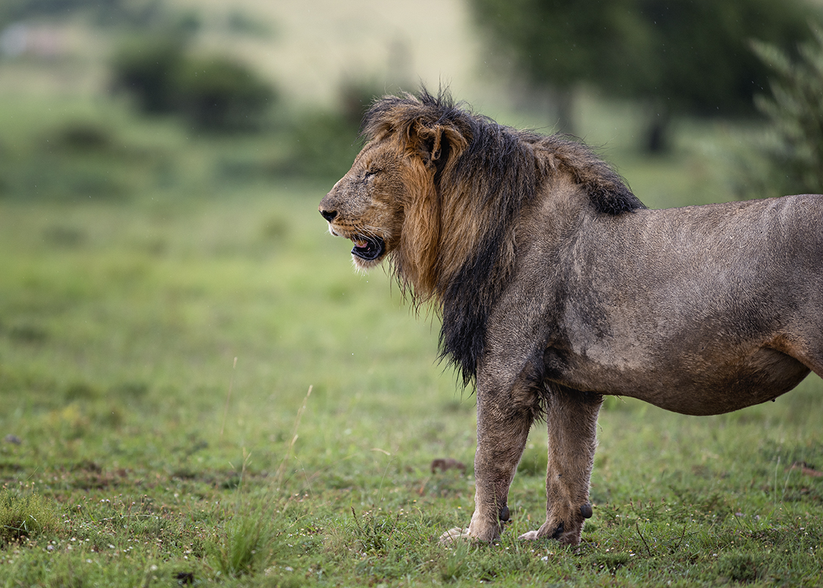 Male lion on a wet morning