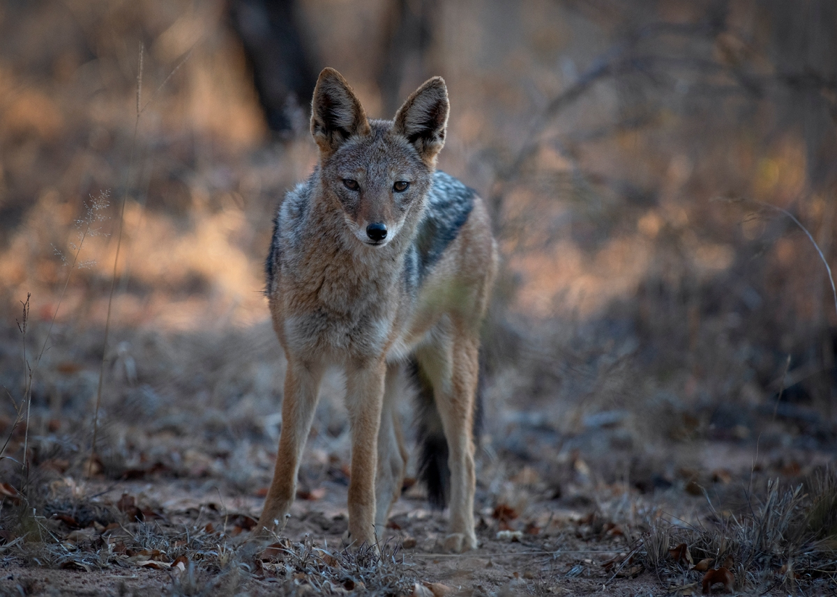 Jackal in the evening light