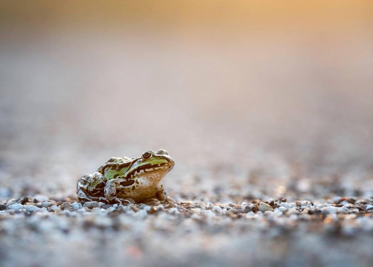 Frog in the morningsun